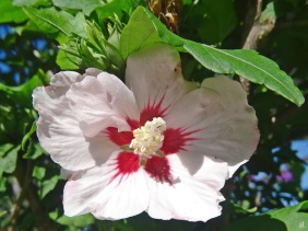 2020-07-23 LüchowSss Garten Garten-Eibisch (Hibiscus syriacus)