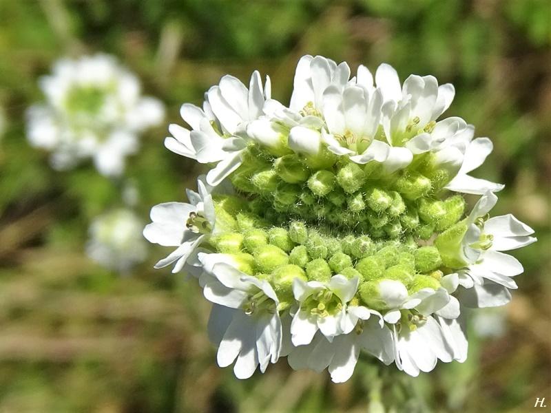 2020-07-23 LüchowSss Garten Gewöhnliche Graukresse (Berteroa incana) mit Verbänderung