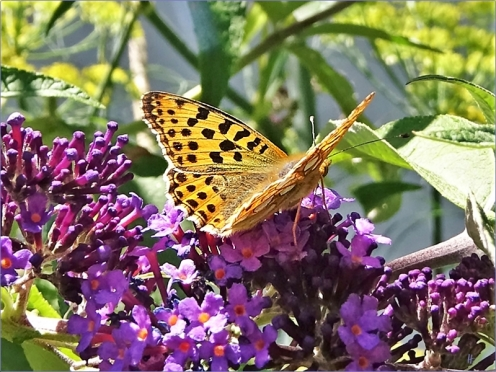 2020-07-23 LüchowSss Garten Schmetterlingsflieder (Buddleja davidii) + Kleiner Perlmuttfalter (Issoria lathonia)