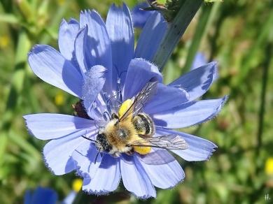 2020-07-23 LüchowSss Garten Wegwarte (Cichorium intybus) + Wildbiene, vermutl. Rauhfüssige Hosenbiene (Dasypoda hirtipes)