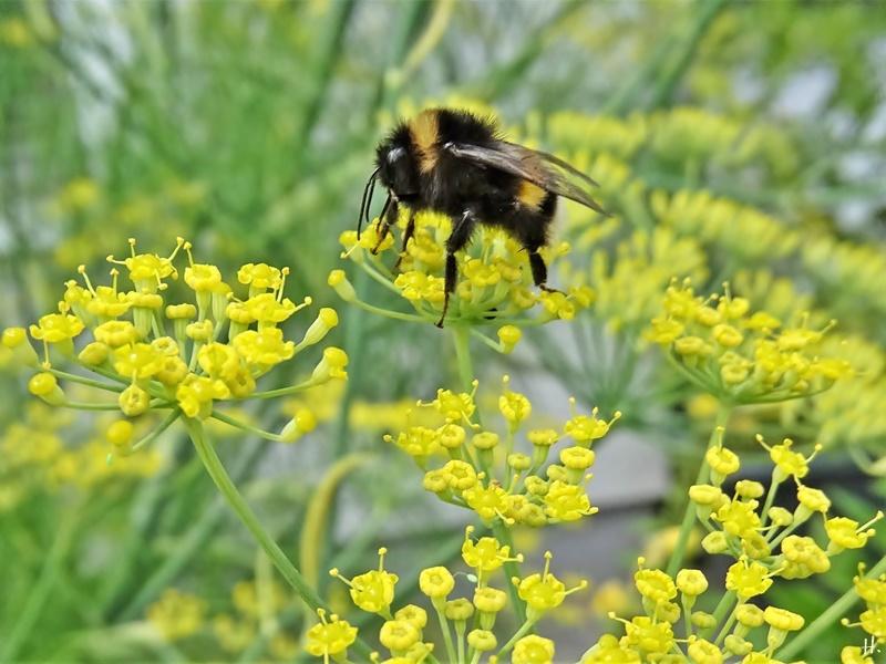 2020-07-24 LüchowSss Garten Fenchel (Foeniculum vulgare) + Dunkle Erdhummel (Bombus terrestris)