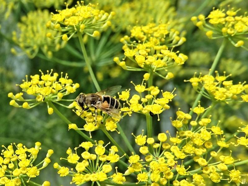 2020-07-24 LüchowSss Garten Fenchel (Foeniculum vulgare) + Scheinbienen-Keilfleckschwebfliege (Eristalis tenax)