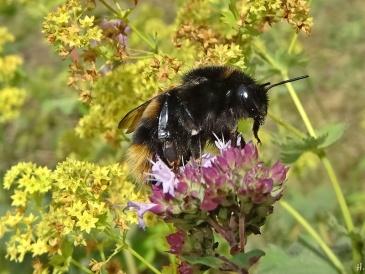 2020-07-24 LüchowSss Garten vermutl. Feld-Kuckuckshummel (Bombus campestris), vllt. auch Vierfarbige Kuckuckshummel (Bombus quadricolor) an Wildem Dost (Origanum vulgare) (1)