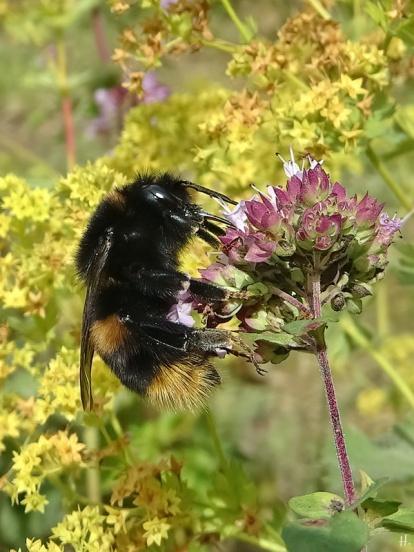 2020-07-24 LüchowSss Garten vermutl. Feld-Kuckuckshummel (Bombus campestris), vllt. auch Vierfarbige Kuckuckshummel (Bombus quadricolor) an Wildem Dost (Origanum vulgare) (2)