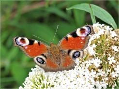 2020-07-25 LüchowSss Garten Schmetterlingsflieder (Buddleja davidii) + Tagpfauenauge (Inachis io)