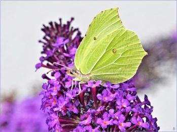 2020-07-25 LüchowSss Garten Schmetterlingsflieder (Buddleja davidii) + Zitronenfalter (Gonepteryx rhamni) (5)