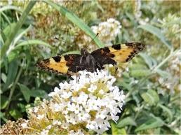 2020-07-25 LüchowSss Garten Schmetterlingsflieder (Buddleja) + Kleiner Fuchs (Aglais urticae)