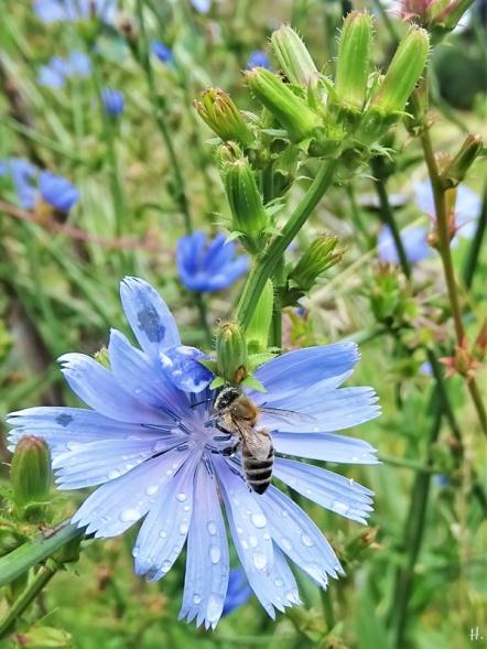 2020-07-25 LüchowSss Garten Wegwarte (Cichorium intybus) + Honigbiene (Apis mellifera)