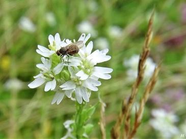2020-07-26 LüchowSss Garten Gewöhnliche Graukresse (Berteroa incana) + Fliege (1)