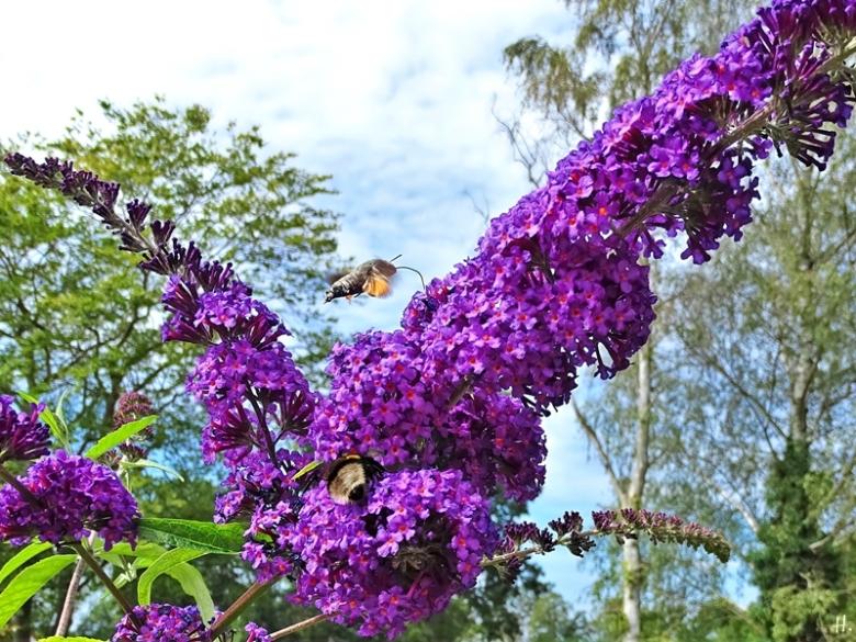 2020-07-31 LüchowSss Garten Taubenschwänzchen (Macroglossum stellatarum) + Schmetterlingsflieder (Buddleha davidii) (1)