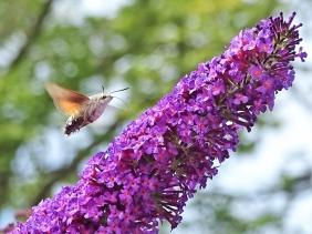 2020-07-31 LüchowSss Garten Taubenschwänzchen (Macroglossum stellatarum) + Schmetterlingsflieder (Buddleha davidii) (3)