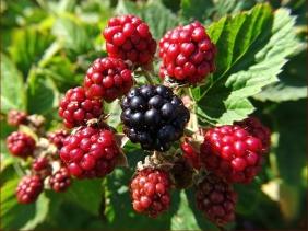 2020-07-31 LüchowSss Garten Brombeeren (Rubus fruticosus)