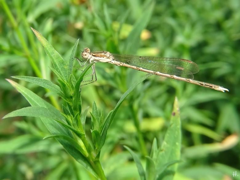 2020-07-31 LüchowSss Garten Blaue Federlibelle (Platycnemis pennipes) Weibchen
