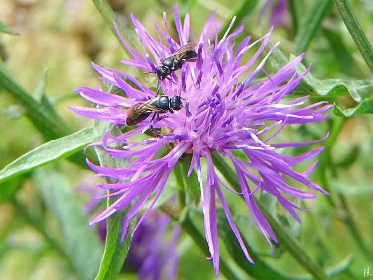 2020-07-31 LüchowSss Garten Wiesen-Flockenblume (Centaurea jacea) + Gewöhnliche Maskenbienen (Hylaeus communis)