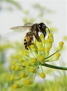 2020-07-31 LüchowSss Garten Wildbiene am Fenchel