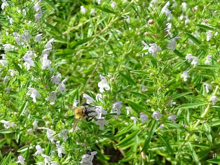 2020-08-01 LüchowSss Garten Bergbohnenkraut ( Satureja montana) + Ackerhummel (Bombus pascuorum)