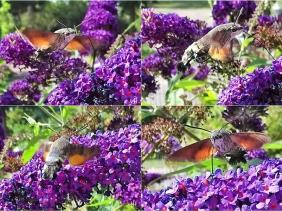 2020-08-01 LüchowSss Garten Taubenschwänzchen (Macroglossum stellatarum) + Schmetterlingsflieder (Buddleha davidii) (1x4)