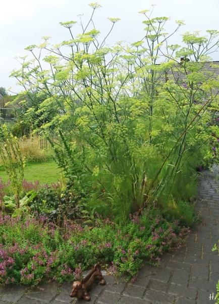 2020-08-02 LüchowSss Garten Fenchel (Foeniculum vulgare) im Regen