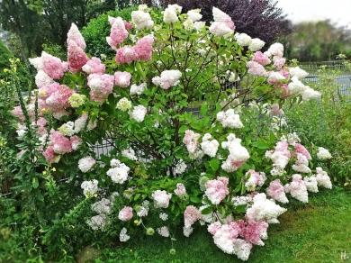 2020-08-02 LüchowSss Garten Rispenhortensie 'Vanille-Fraise' (Hydrangea paniculata) (Ws)