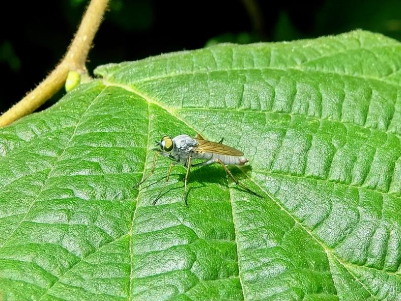 2020-08-03 LüchowSss Garten hellgraue Fliege auf Haselblatt (1)