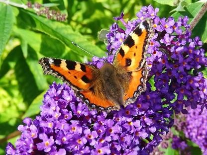 2020-08-03 LüchowSss Garten Schmetterlingsflieder (Buddleja davidii) + Kleiner Fuchs (Aglais urticae) (1)