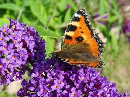 2020-08-03 LüchowSss Garten Schmetterlingsflieder (Buddleja davidii) + Kleiner Fuchs (Aglais urticae) (2)