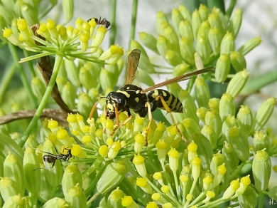 2020-08-04 LüchowSss Garten Fenchel (Foeniculum vulgare) + Deutsche Wespe (Vespula germanica) + Schwarze Wegameise (Lasius niger)(1)