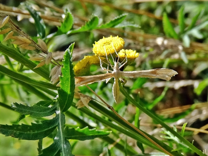 2020-08-04 LüchowSss Garten Rainfarn (Tanacetum vulgare) + Federmotte Gillmeria ochrodactyla