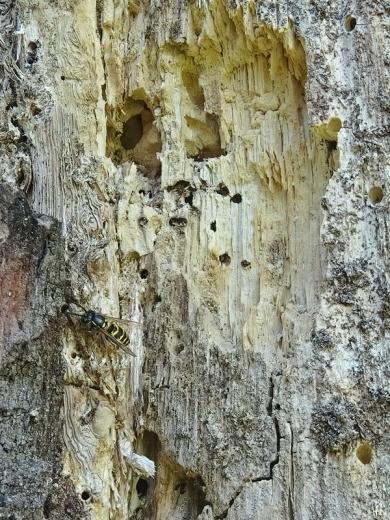 2020-08-05 LüchowSss Garten Eiche + Gemeine Wespe (Vespula vulgaris) (1)