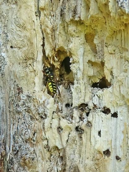 2020-08-05 LüchowSss Garten Eiche + Gemeine Wespe (Vespula vulgaris) (2)