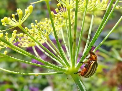 2020-08-05 LüchowSss Garten Fenchel (Foeniculum vulgare) +Kartoffelkäfer (Leptinotarsa decemlineata) (2)