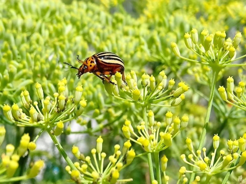 2020-08-05 LüchowSss Garten Fenchel (Foeniculum vulgare) + Kartoffelkäfer (Leptinotarsa decemlineata) 'hoppst'