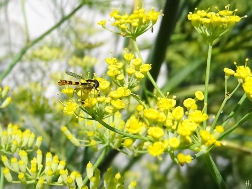 2020-08-05 LüchowSss Garten Fenchel (Foeniculum vulgare) + Stift-Schwebfliege (Sphaerophoria scripta)