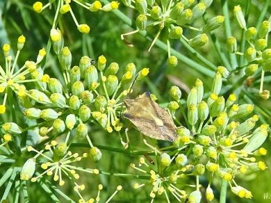 2020-08-05 LüchowSss Garten Fenchel (Foeniculum vulgare) + vermutl. Nördliche Fruchtwanze (Carpocoris fuscispinus)