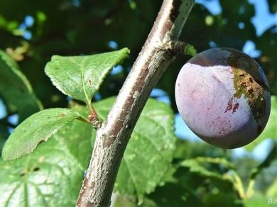 2020-08-05 LüchowSss Garten Wildpflaume Frucht u. Blätter am Zweig (2)