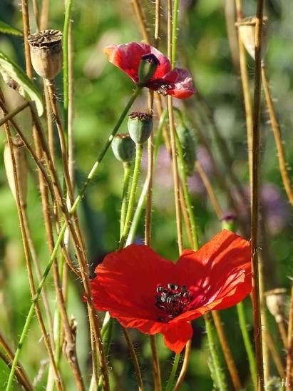 2020-08-07 LüchowSss Garten 8h morgens Klatschmohn (Papaver rhoeas)