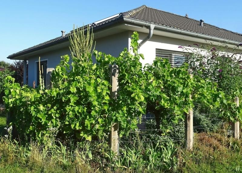 2020-08-07 LüchowSss Garten 8h morgens spanische Weinreben (1)