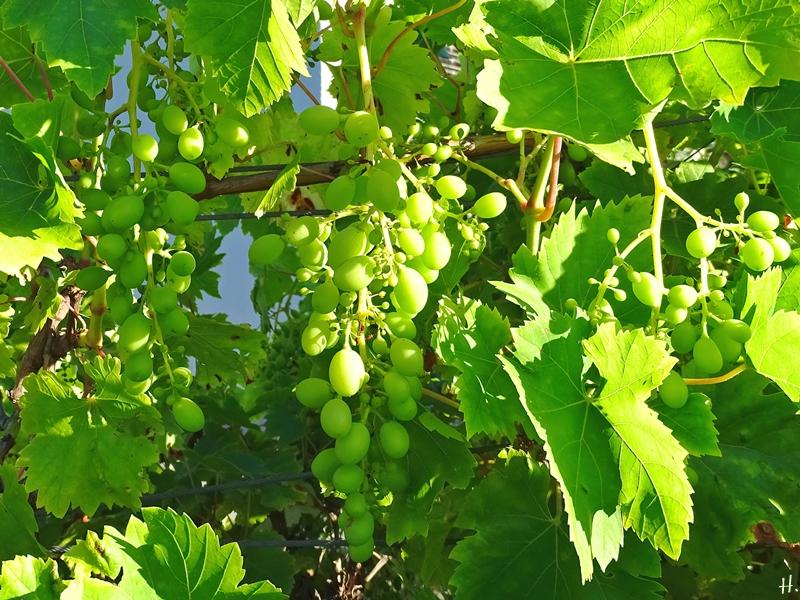 2020-08-07 LüchowSss Garten 8h morgens spanische Weinreben