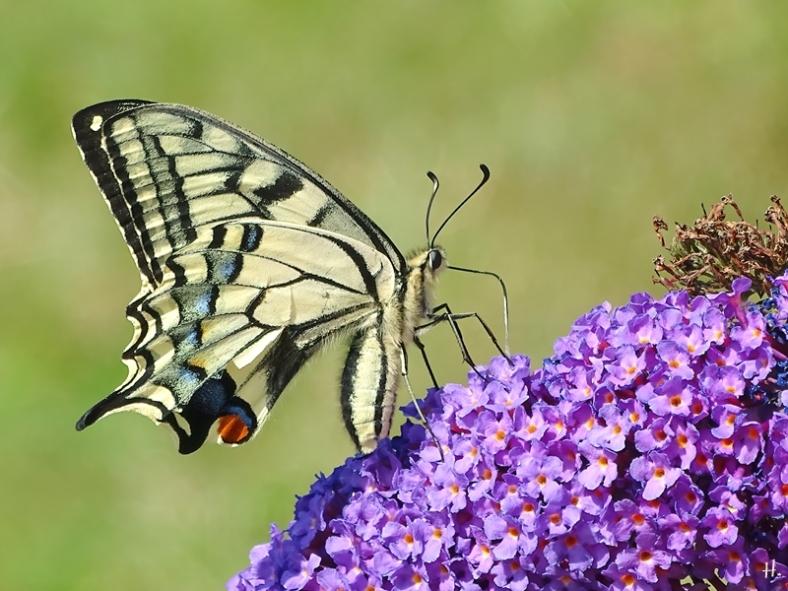 2020-08-08 LüchowSss Garten Schwalbenschwanz (Papilio machaon) an Schmetterlingsflieder (Budleja davidii)
