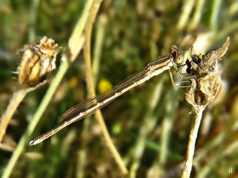 2020-08-11 LüchowSss Garten Gemeine Winterlibelle (Sympecma fusca)