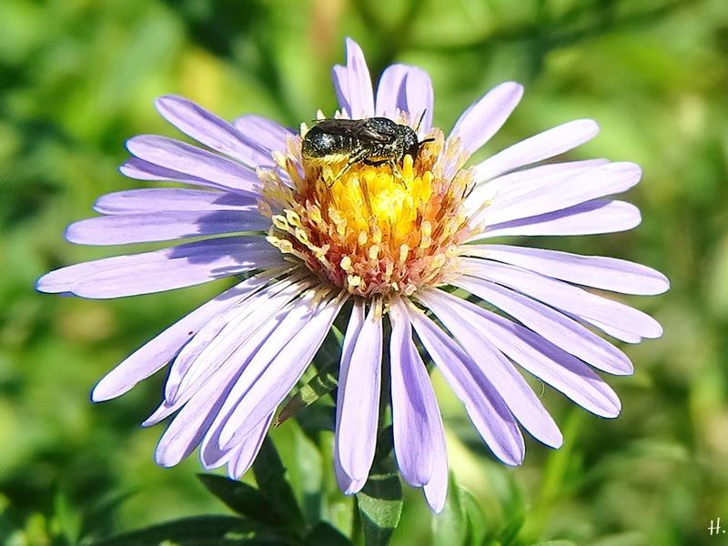 2020-08-11 LüchowSss Garten Neubelgische Glattblatt-Aster (Symphyotrichum novi-belgii, Syn. Aster novi-belgii) + Gemeine Löcherbiene (Heriades truncorum) (2)