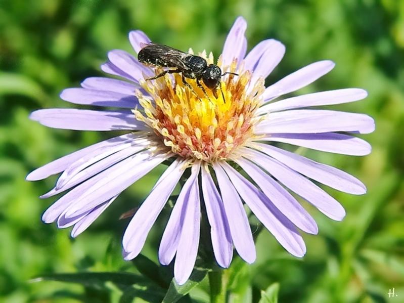 2020-08-11 LüchowSss Garten Neubelgische Glattblatt-Aster (Symphyotrichum novi-belgii, Syn. Aster novi-belgii) + Gemeine Löcherbiene (Heriades truncorum)