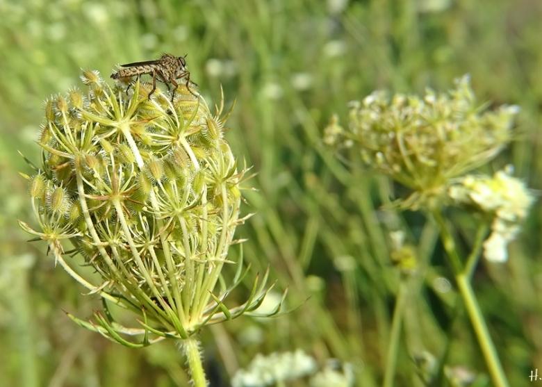 2020-08-11 LüchowSss Garten Raubfliege auf Wilder Möhre (Daucus carota ssp. carota) (2)