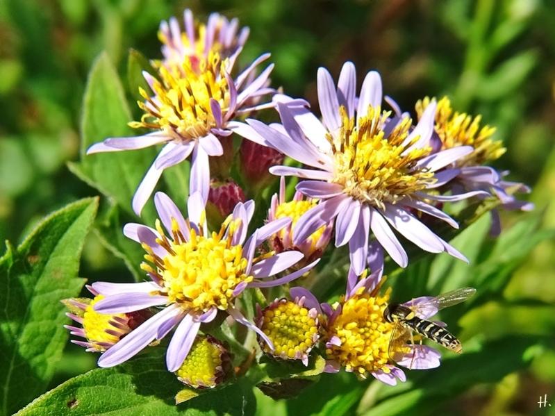 2020-08-11 LüchowSss GartenAsiatische Wildaster 'Asran' (Aster ageratoides) + weibl. Stift-Schwebfliege bzw. Gewöhnliche Langbauchschwebfliege (Sphaerophoria scripta)