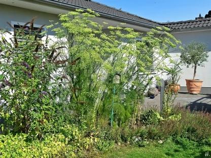 2020-08-12 LüchowSss Garten Fenchel (Foeniculum vulgare) ganz (1)