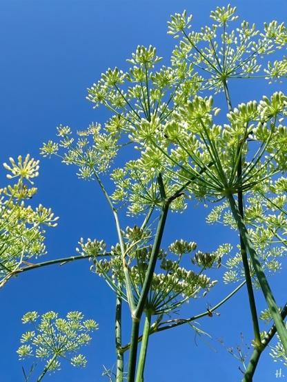 2020-08-12 LüchowSss Garten Fenchel (Foeniculum vulgare) + Himmelblau