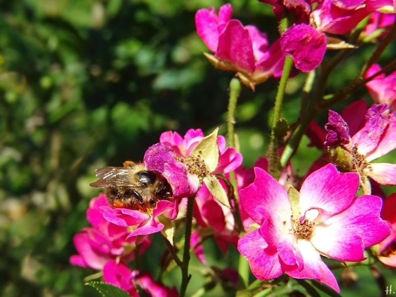2020-08-12 LüchowSss Garten Zwergrose bzw. Bodendeckerrose 'Lupo' (v. Kordes) Ackerhummel (Bombus pascuorum)