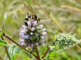 2020-08-14 LüchowSss Garten Bienenjagende Knotenwespe (Cerceris rybyensis) + Grüne Minze (Mentha spicata)