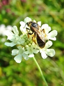 2020-08-14 LüchowSss Garten Gelb-Skabiose + Gelbbindige Furchenbiene (Halictus scabiosae) (1)