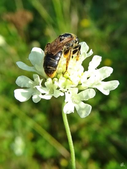 2020-08-14 LüchowSss Garten Gelb-Skabiose + (Gelbbindige Furchenbiene (Halictus scabiosae) (2)